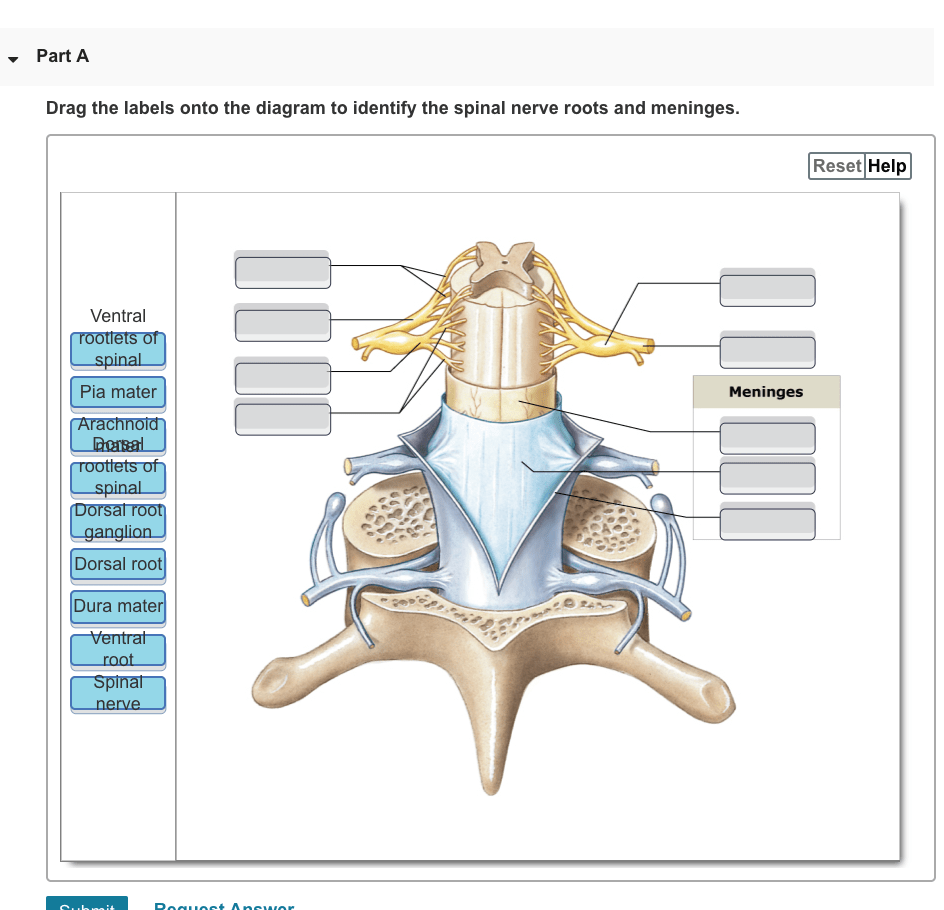 medium resolution of part a drag the labels onto the diagram to identify the spinal nerve roots and meninges