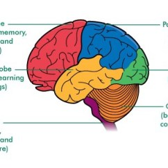 Brain Diagram Inside S Plan Wiring Solved Draw A Line From The Of To Ou Frontal Lobe Thinking Memory Behaviour And Movement Parietal Language
