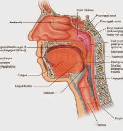 question are the lingual tonsils located in both the laryngopharynx and the oropharynx this diagram i have is helpful but also a little confusing seeing  [ 1024 x 861 Pixel ]
