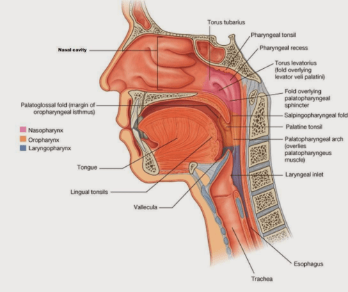 small resolution of question are the lingual tonsils located in both the laryngopharynx and the oropharynx this diagram i have is helpful but also a little confusing seeing