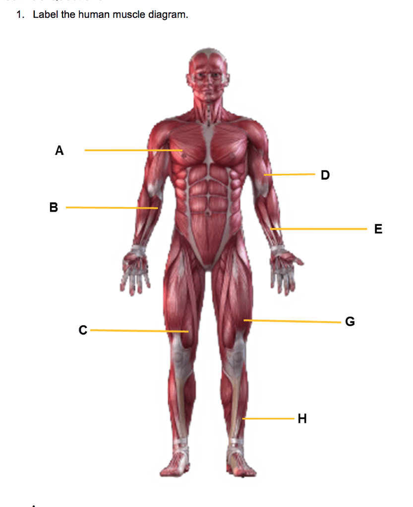 major muscle diagram to label electric fuel pump wiring chest data solved 1 the human chegg com anatomy