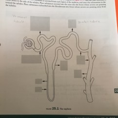 Nephron Diagram From A Textbook International Scout Wiring Section Date Pre Lab Exercise 25 2 Structu Chegg Com Question Structure And Function Review The Of Nep