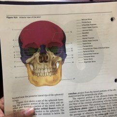 Unlabeled Skull Diagram Inferior View Civic Obd2b Wiring Solved Figure 10 4 Anterior Of The Ethmoid Bon Bone Frontal Infraorbital Foramen Nasal Concha