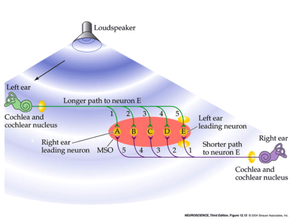 medium resolution of loudspeaker left ear longer path to neuron e 1 2 3 45 cochlea and cochlear nucleus