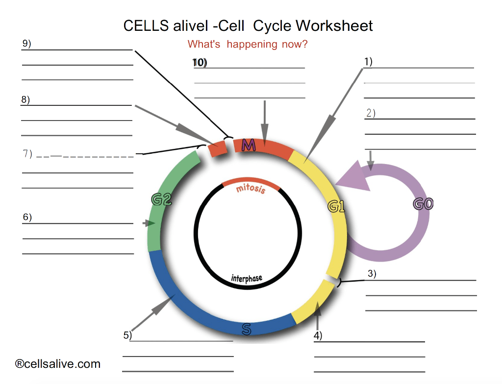 Solved Cells Alivel Cell Cycle Worksheet What S Happenin