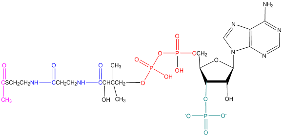 Solved: In the structure of acetyl coenzyme A drawn below