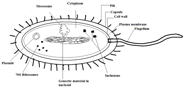 Solved: Provide a diagram of prokaryotic cell structure