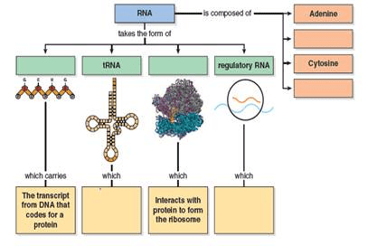 Solved: What are the functions of mRNA. tRNA. and rRNA? What st...   Chegg.com