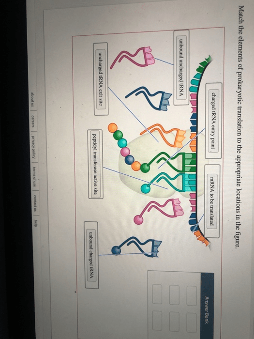 Solved: Match The Elements Of Prokaryotic Translation To T...   Chegg.com