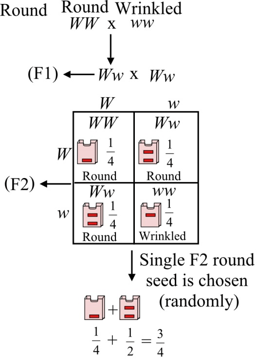 Solved: A monohybrid cross is carried out between pea
