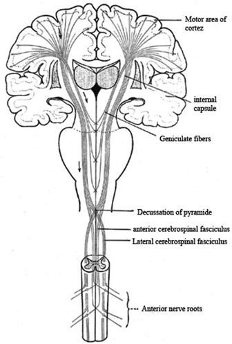 Definition of Higher Motor Neurons Within The Central