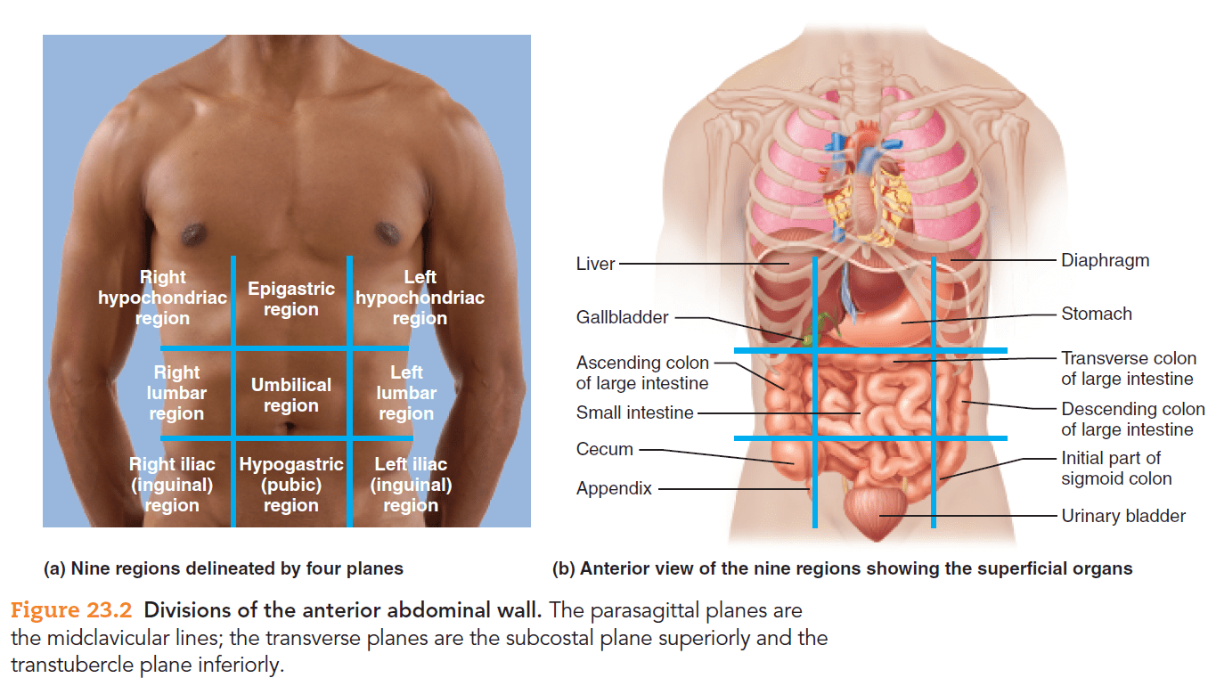 Solved Describe The Location Of The Stomach In Reference