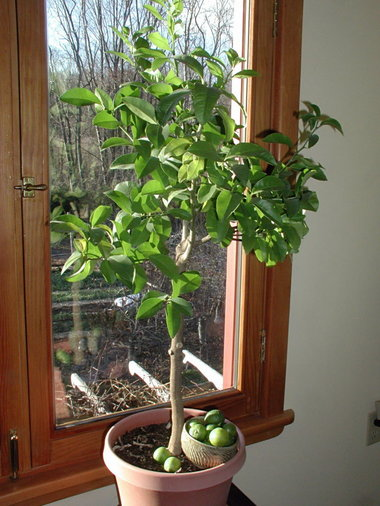 Tree Life Cycles Indoor Lime Tree with Fresh Picked Limes