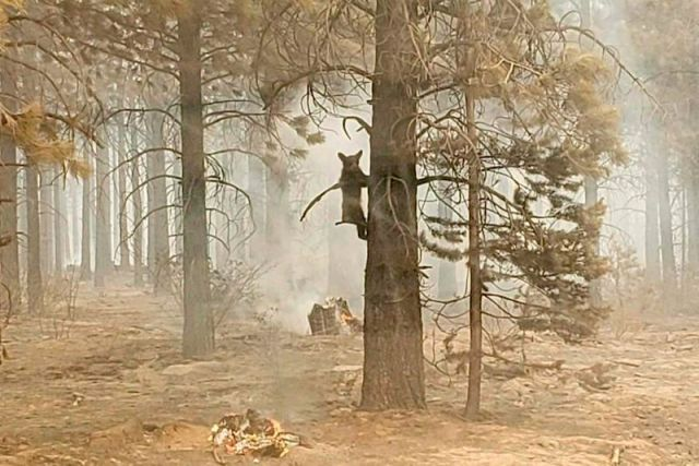 A bear cub clings to a tree after being spotted by a safety officer at the Bootleg Fire in Oregon.