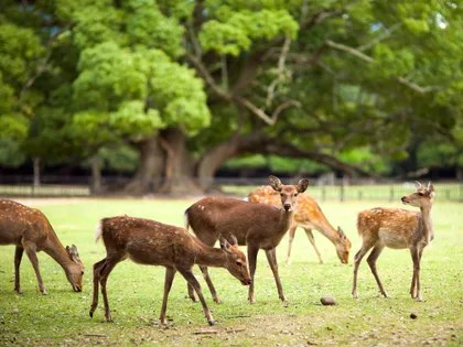Image may contain: Animal, Wildlife, Mammal, Antelope, Outdoors, Nature, Field, Deer, and Grassland