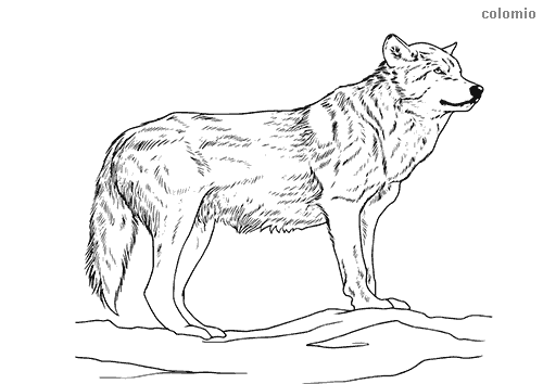 Wolves Coloring Pages Free Printable Wolf Coloring Sheets