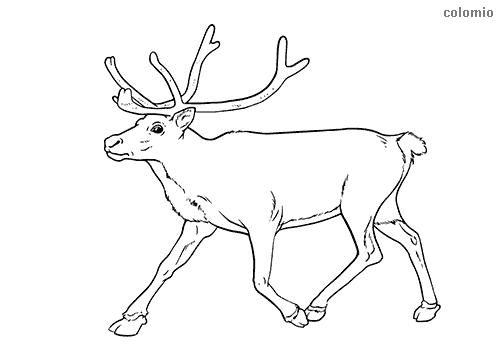 Reindeer Coloring Pages Free Printable Reindeer Coloring Sheets