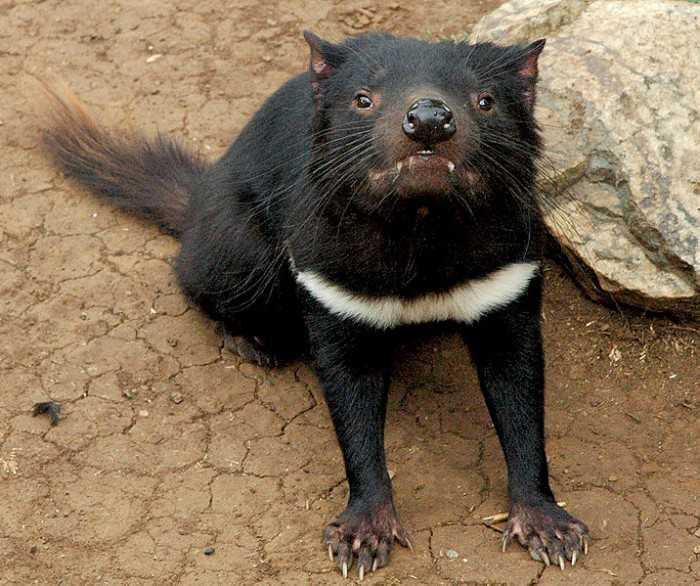 tasmanian devil extinction predicted