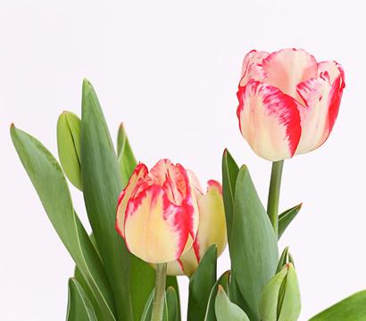 Dehner Premium Tulpe Rexona  Dehner Garten Center