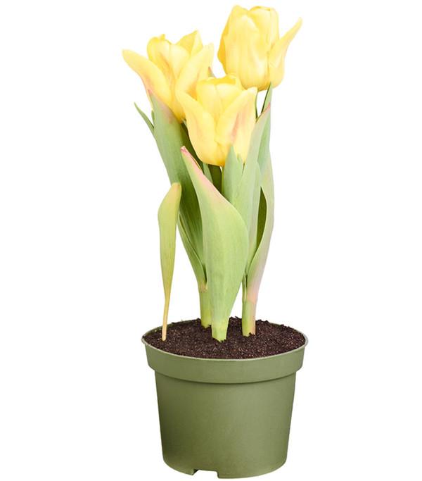 Tulpe  Dehner