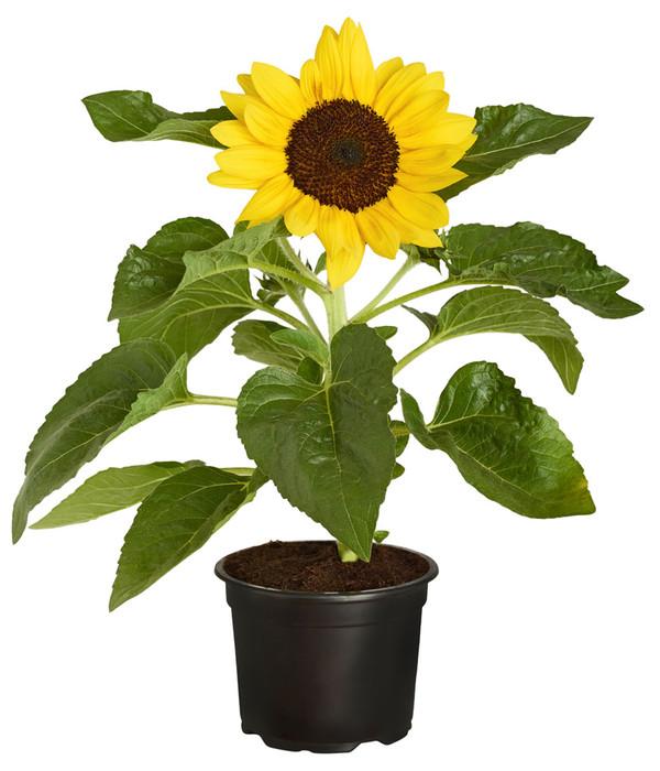Sonnenblume Im Topf Kaufen sonnenblume helianthus annuus