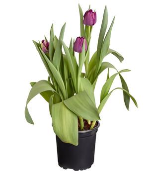Tulpen in wunderschnen Farben online  Dehner