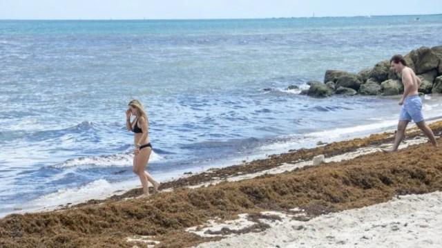 Los bañistas encuentran grandes concentraciones de sargazo en las playas del sur de la Florida.
