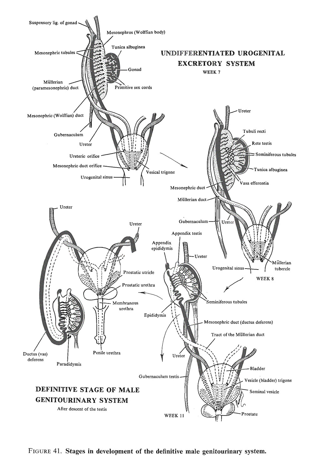 Chapter 100. The Genital or Reproductive System: Primive