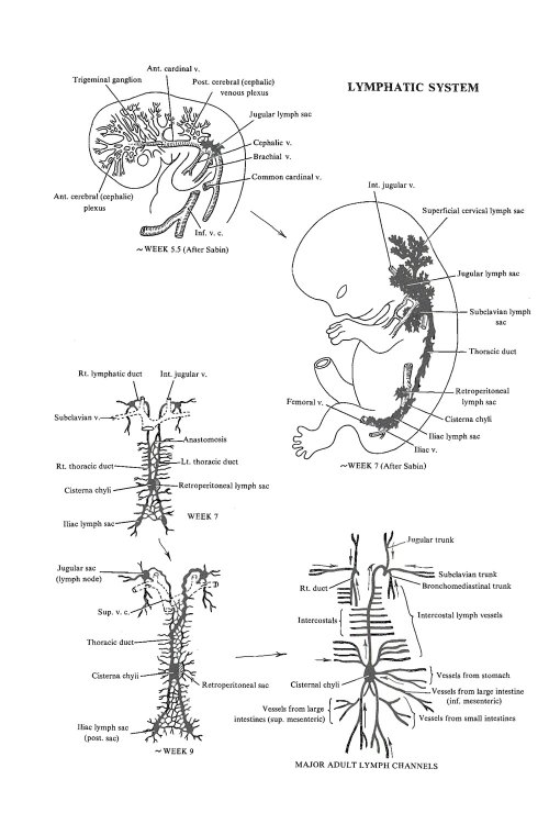 small resolution of development of the lymphatic system image 1