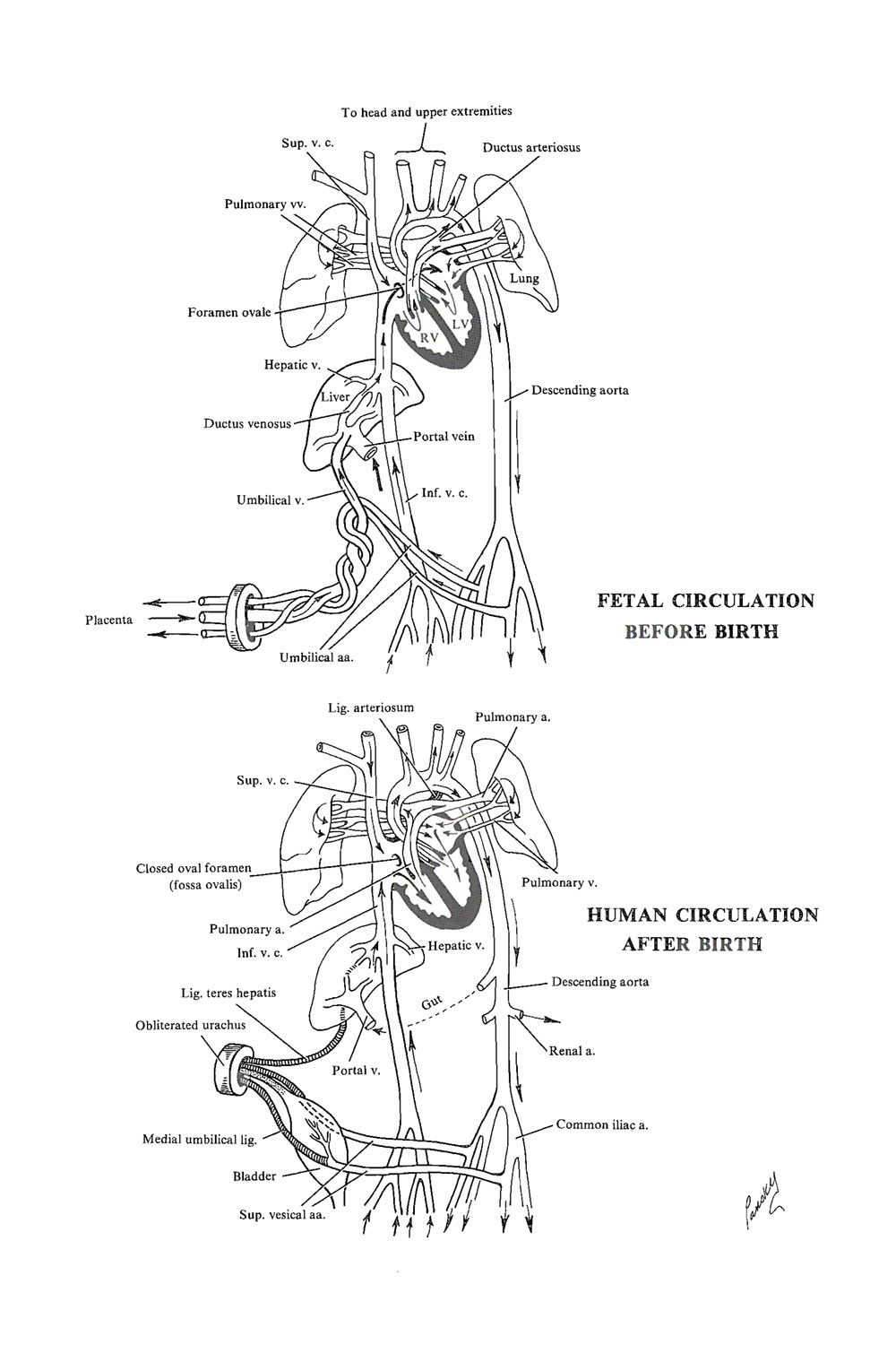 external heart diagram honda prelude alternator wiring chapter 129. the circulatory system before and after birth - review of medical embryology book ...