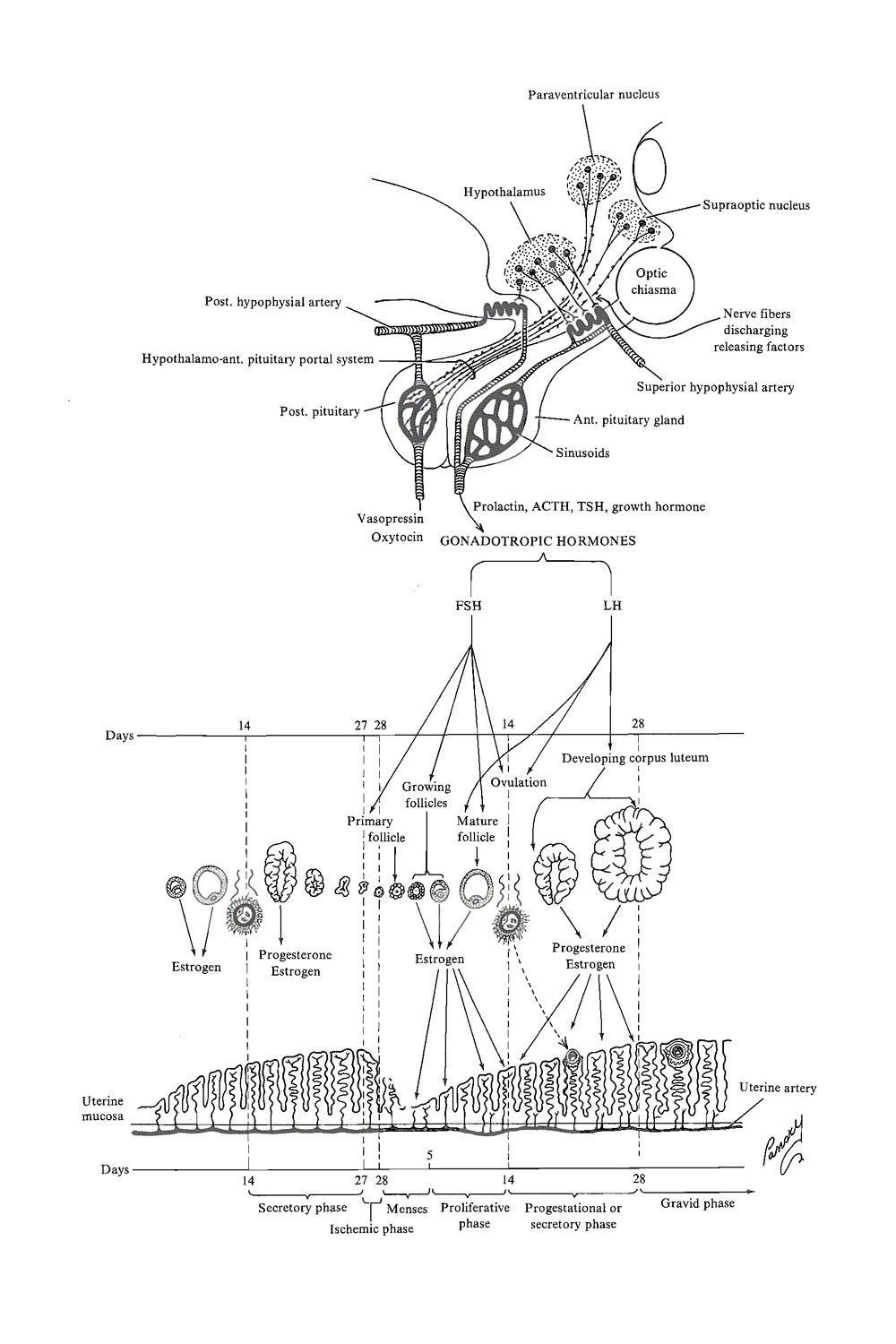 Chapter 13. Implantation and Its Preparation: General