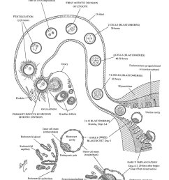 week 1 of embryonic development ovulation to implantation image 1 [ 1000 x 1500 Pixel ]