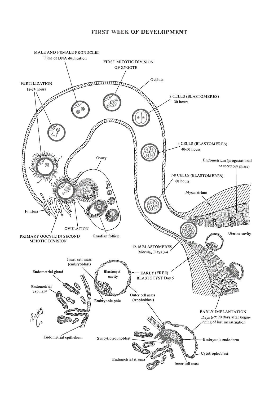 medium resolution of week 1 of embryonic development ovulation to implantation image 1