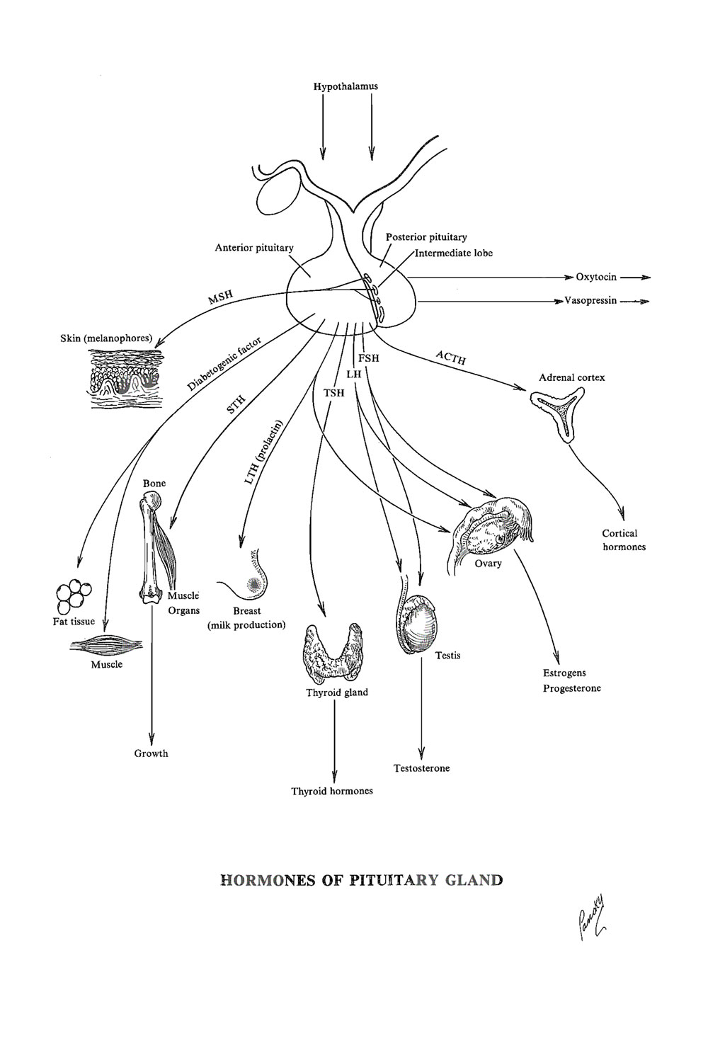 hight resolution of role of the hypophysis pituitary gland physiology and pathology