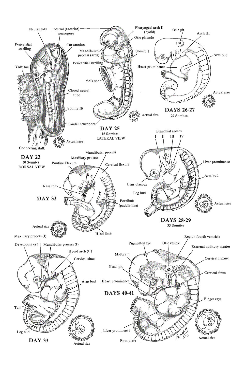 Chapter 23. Weeks 4 to 6 of Development: The Embryonic