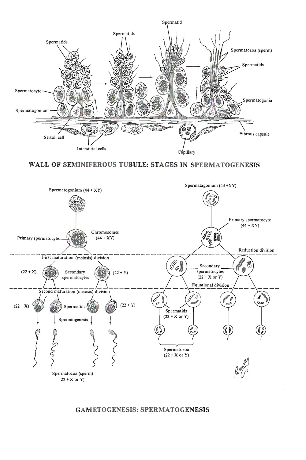 Chapter 3. Gamete (germ Cell) Formation, or Gametogenesis