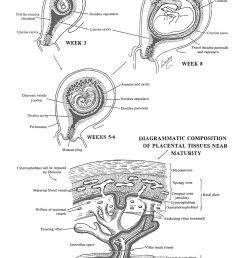 the placenta decidual formation image 1 [ 1000 x 1500 Pixel ]