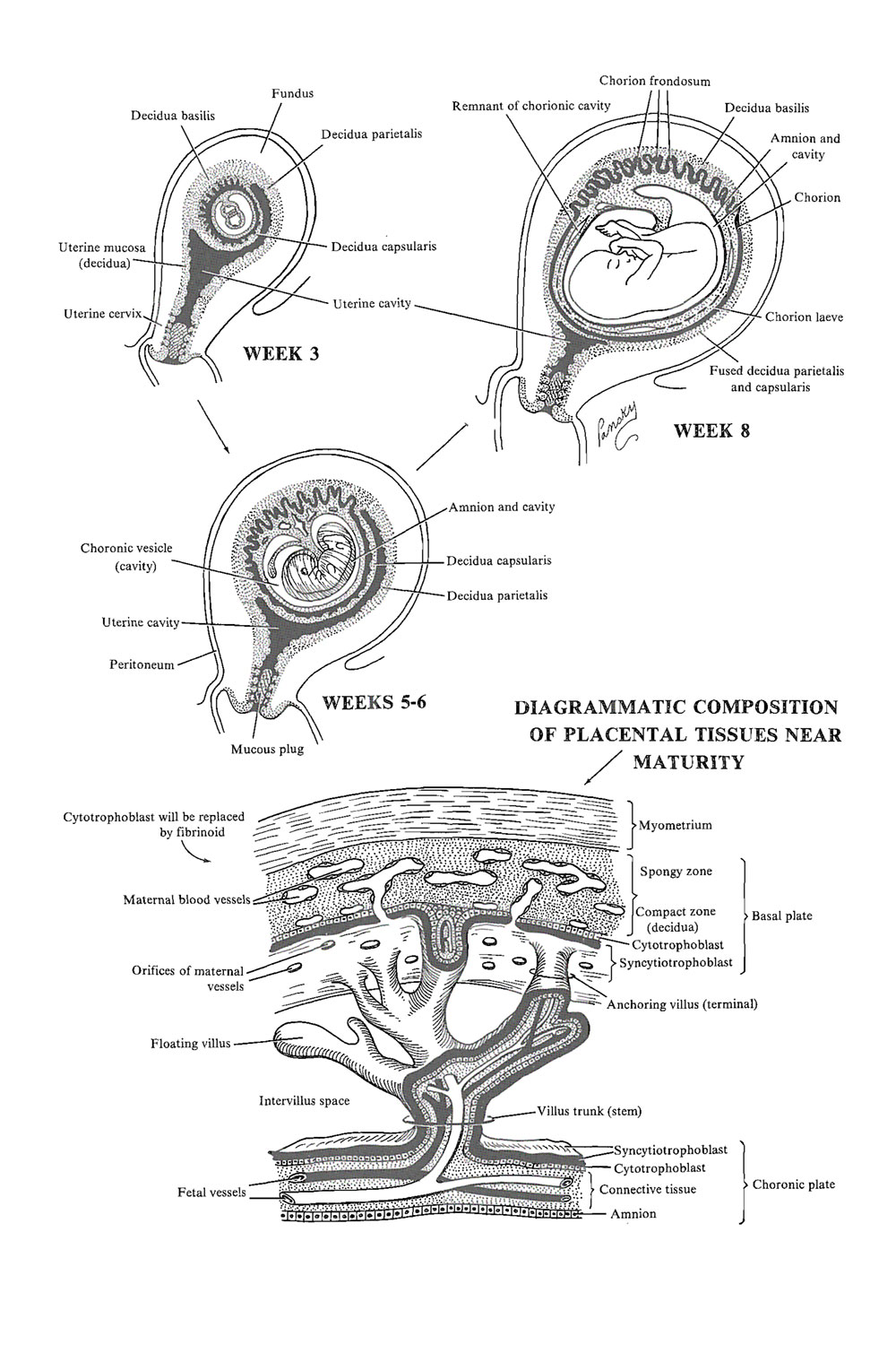 hight resolution of the placenta decidual formation image 1