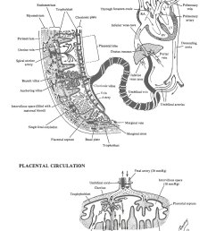 placental circulation image 1 [ 1000 x 1500 Pixel ]