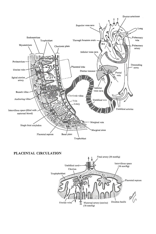medium resolution of placental circulation image 1