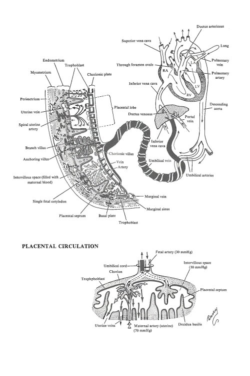 small resolution of placental circulation image 1