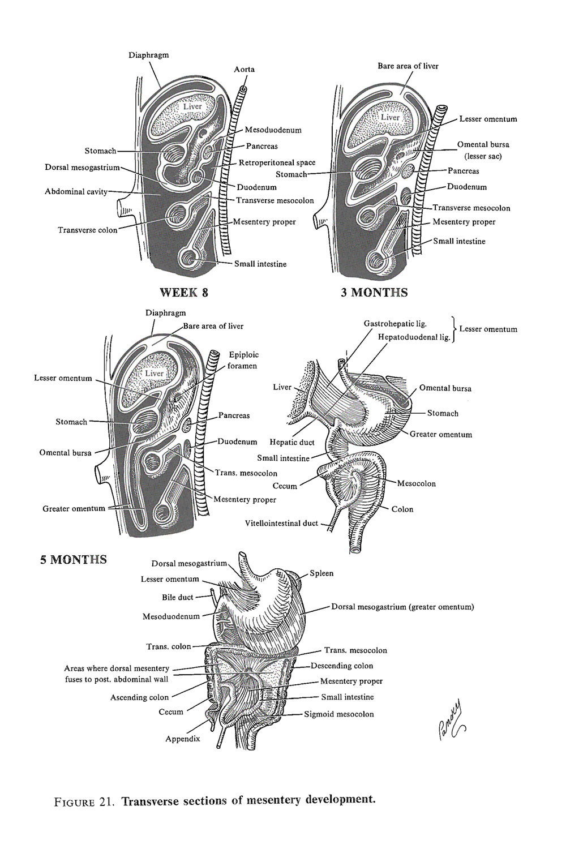 medium resolution of development of the mesenteries image 2