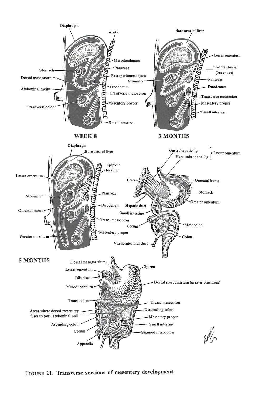 hight resolution of development of the mesenteries image 2