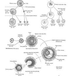 4 gametogenesis oogenesis [ 1000 x 1500 Pixel ]