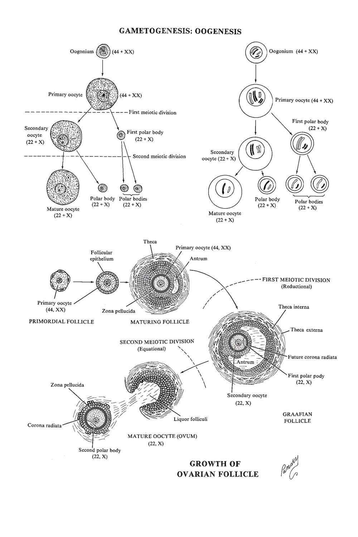 hight resolution of 4 gametogenesis oogenesis