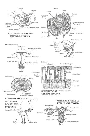 Chapter 6 The Adult Female Uterus  Review of Medical