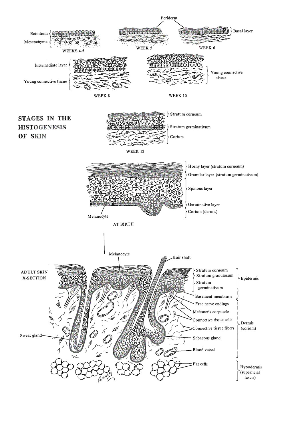 hight resolution of development of the integumentary system ectodermal derivatives image 1