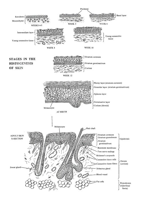 small resolution of development of the integumentary system ectodermal derivatives image 1