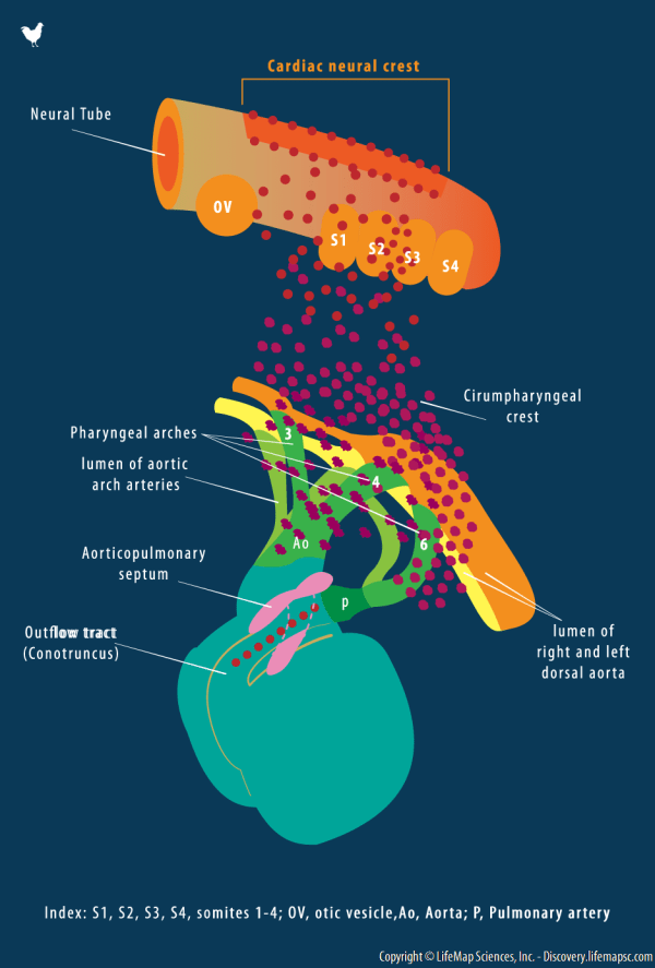 Cardiac Neural Crest Development Infographic - Lifemap
