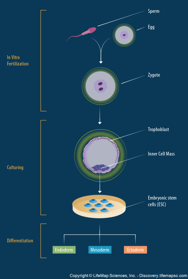 Derivation Of Embryonic Stem Cells Infographic - Lifemap